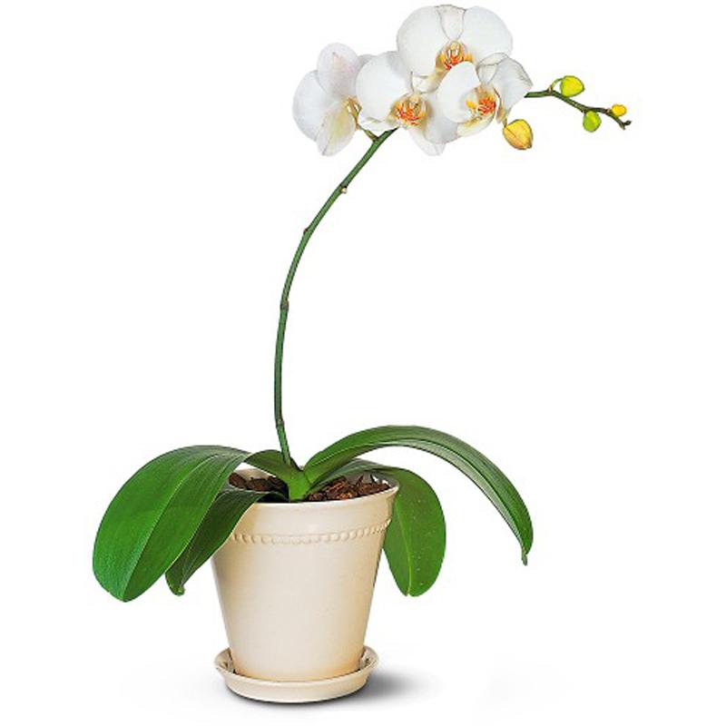 White Orchid Phalaenopsis